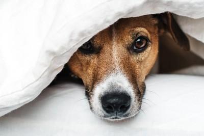 ベッドに隠れる犬