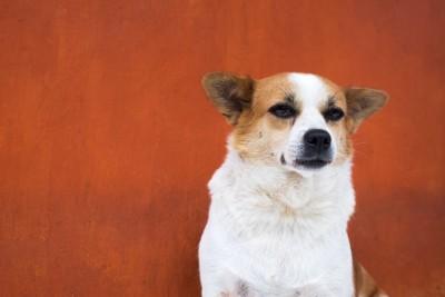 遠くを見る白×茶の犬(赤背景)