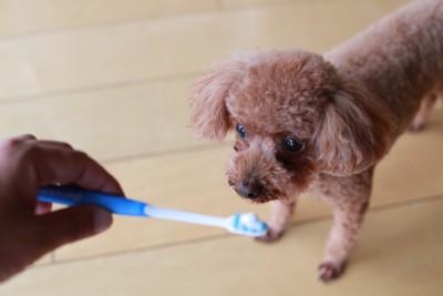 飼い主の持つ歯ブラシを見つめるトイプードル