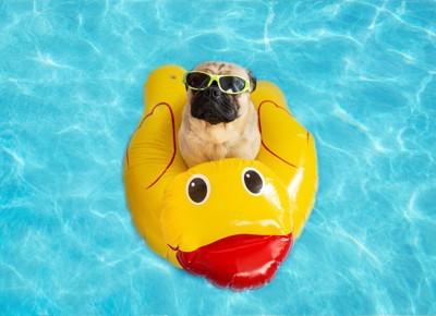 プールであひるの浮き輪に乗ってサングラスをかけているパグ