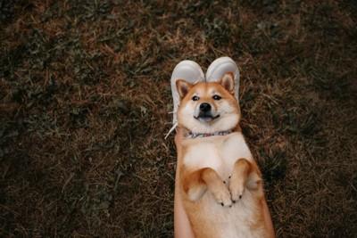 脚の上でへそ天をする柴犬