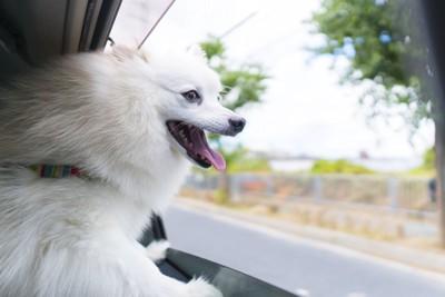 車窓から顔を出す犬