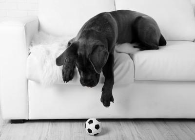 ソファーの上からサッカーボールに手を伸ばす黒い犬