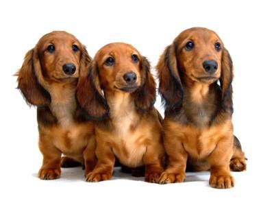 ダックスフンドの子犬たち