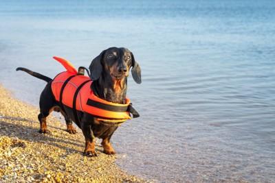ライフベストをつけた水辺のダックスフンド