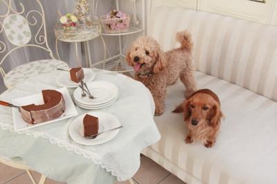 テーブルの上のケーキを見つめるトイプードルとダックスフンド