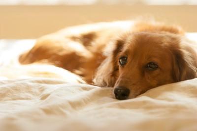 ベッドで横になるダックスフンド