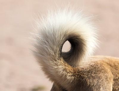 犬の尻尾どアップ
