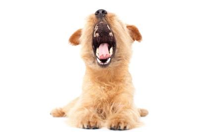 伏せながら口を大きく開けている犬