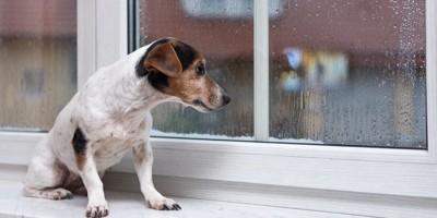 窓辺で雨が降っている外を見る犬