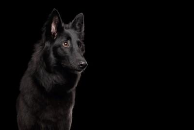 黒い背景に黒い犬