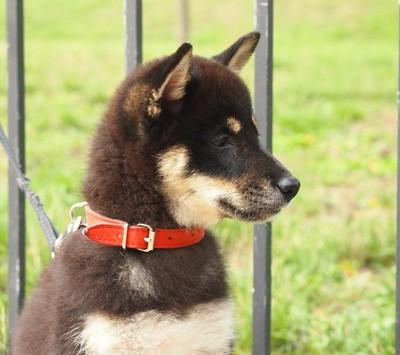 赤い首輪の柴犬
