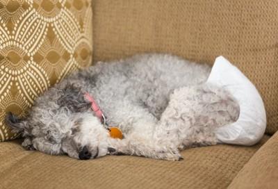 おむつを穿いてソファーに横たわっている犬