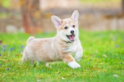 芝生と青い花とコーギーの子犬