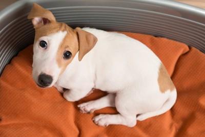 オレンジのベッド乗っている犬