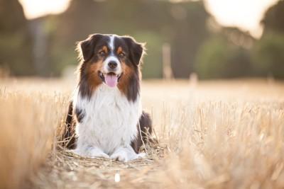 枯れ草の中に伏せをしている垂れ耳の犬