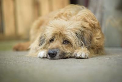 悲しそうに地面で伏せている犬