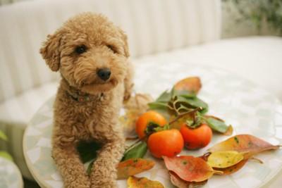 柿と並ぶトイプードル