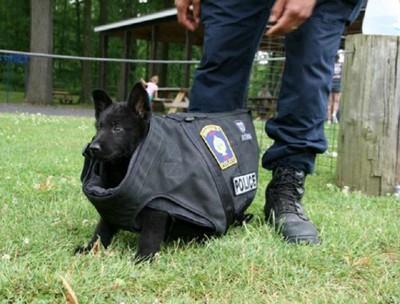 ぶかぶかの防弾ベストを着た黒い子犬