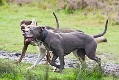 犬がじゃれ合っている写真