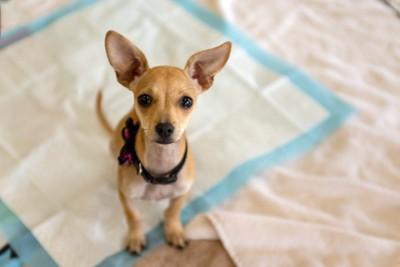 トイレシートの上でおすわりする犬
