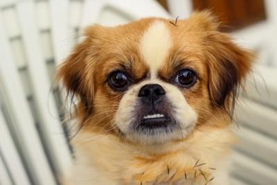 牙をむく犬