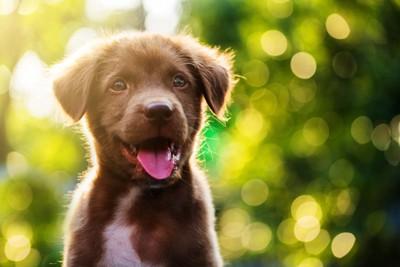 茶色い子犬