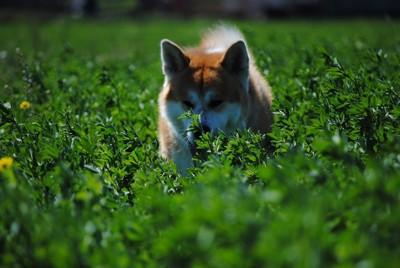 草原を走る秋田犬