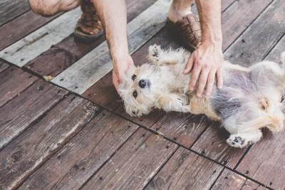 おなかを見せる犬