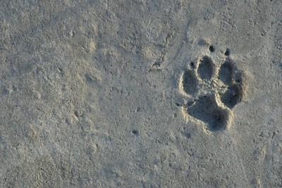 犬の肉球の跡、右寄り