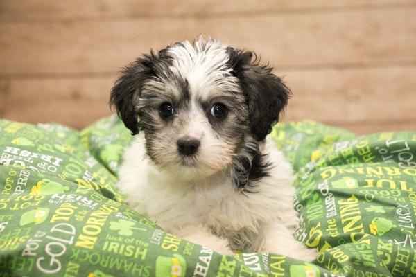 緑のブランケットの上で寝そべるヨープーの子犬