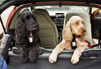 車に乗っている2匹のコッカースパニエル