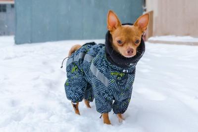 雪の日に防寒服を着たチワワ