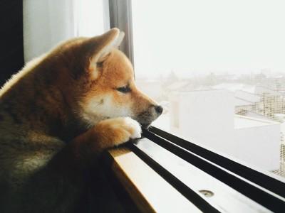立ち上がって窓の外を見つめる子犬