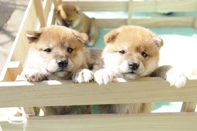 柴犬 子犬 木製サークルの中 2頭