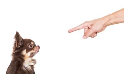 指を差し、叱られているチワワ、白い背景