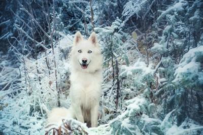雪と枝に囲まれたヤクーチアンライカ