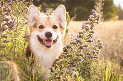 青い花の中で笑顔のコーギー