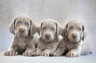 3頭のワイマラナーの子犬