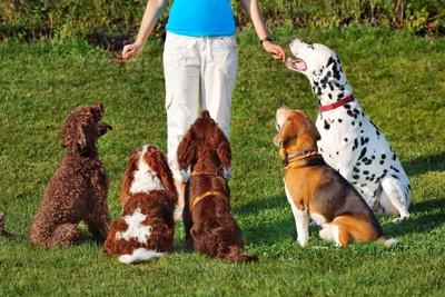 トレーニング中の犬たち