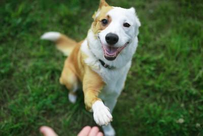 うれしそうにお手をしている白×茶の犬