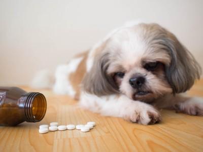サプリメントの錠剤を見つめる犬