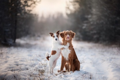 雪道の上で座っている茶色い犬と立ち上がっている白い犬