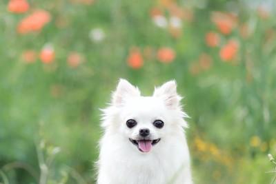 花畑で笑顔のような表情の犬