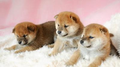 ふかふかのベッドでくつろぐ3匹の柴の子犬