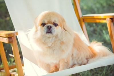 椅子に座りじっと見つめている犬