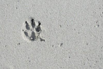 犬の足跡、砂の上