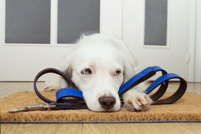 リードの上に伏せて散歩を待つ犬