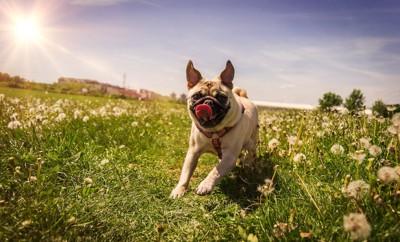 草むらを走り回ってはしゃぐパグ