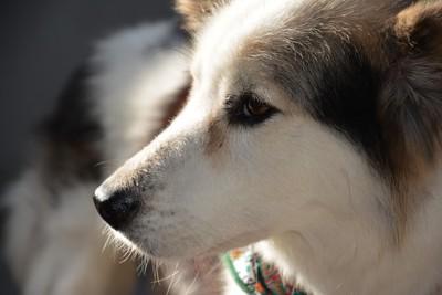 老犬の横顔